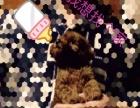 自家养的泰迪犬