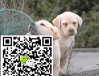 淄博哪里有拉布拉多出售 纯种拉布拉多价格 正宗拉布拉多导盲犬