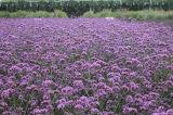 想要优质的马鞭草就来实信花卉苗木——中国马鞭草