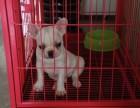郑州本地犬舍出售纯种 法国斗牛犬幼犬 同城可送货 保存活