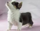 高品质纯种威尔士柯基犬幼犬宠物狗出售 包退换签协