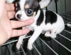 吉娃娃幼犬 当面检测 售后包退换 血统绝对纯种
