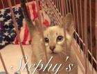 招财虎斑暹罗猫2只弟弟,4个月大,家养猫咪