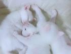异瞳鸳鸯眼纯白白色长毛小猫