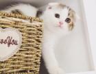 纯种苏格兰折耳猫 加白棕虎斑起司 美国短毛宠物活体幼小猫咪