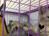 出售纯种的小美短猫咪