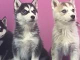 苏州狗狗之家长期出售高品质 哈士奇 宠物狗品种齐全 售后无忧