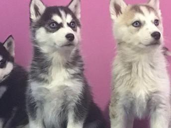 長沙狗狗之家長期出售高品質 哈士奇 售后無憂
