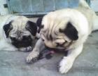 广州纯种巴哥犬幼犬出售虎头皱脸小巴哥健康活体宠物狗狗幼犬