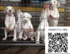 哪里有杜高犬出售 纯种杜高犬多少钱