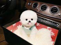 佛山哪里卖纯种俊介犬 佛山黄色博美价格 佛山哪里有宠物出售