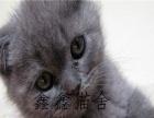 纯种折耳渐层蓝猫折耳活泼健康老少都能饲养