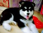 纯种熊版巨型阿拉斯加幼犬出售 体型憨厚 健康保障