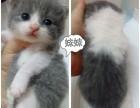 自家繁殖英国短毛猫两公两女接受预定
