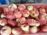 山东红星苹果种植基地主要品种有,而后1-5月份供应大量库存金
