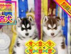 出售纯种哈士奇幼犬赛级品质健康质保免费送货