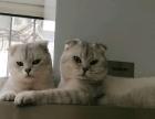 英短渐层小奶猫找新家了
