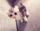 自家第一窝卷耳小奶猫
