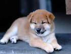 火爆出售血统纯正的上海柴犬可签订活体销售协议