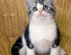 上海广州深圳北京美短猫宠物猫 淘宝搜:双飞猫