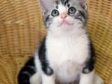 杭州南京苏州宁波哪里有卖布偶折耳波斯短毛猫 双飞猫