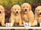 兰州犬舍直销金毛泰迪哈士奇萨摩耶秋田德牧阿拉斯加等各种名犬