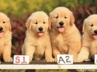 武汉养殖基地直销金毛犬及其它幼犬 签协议 送用品