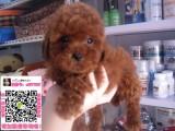 郑州泰迪什么价格 小型贵宾泰迪宠物狗 玩具泰迪长不大的