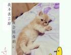 家庭繁育两个半月加菲猫红虎斑2200元未来种公