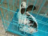 熊猫兔子,三个月大