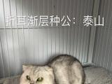 南充贵宾家园渐层宠物猫繁殖批发价出售渐层幼猫