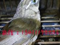 大红袍画眉鸟多少钱一只,哪里有贵州画眉鸟