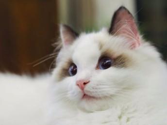 武汉哪里有布偶猫卖 海豹双色 重点手套均有CFA认可多只可挑
