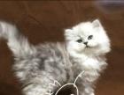 出售精品金吉拉宠物猫 死亡包赔 终身售后保障