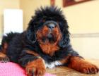 买高品质藏獒幼犬 保健康纯种 签售后协议 基地直销