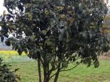 低价出售大量桂花树有需要联系