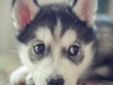 经典三把火双蓝眼 堪称最帅名犬 高品质哈士奇幼犬