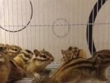 鼠国张飞,金花松鼠优惠感恩节,80一只,150两只