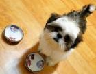 西施犬幼犬长啦,会自己寻食啊啦 很好喂养的小狗