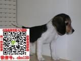 宜昌比格宠物狗出售转让 比格狗舍多少钱 买卖比格幼犬