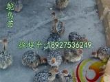 重庆鸵鸟苗批发-永川优质鸵鸟苗供应商