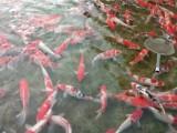 附近卖锦鲤鱼,附近卖观赏鱼,附近卖热带鱼附近卖小金鱼