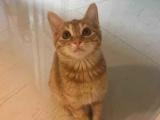 出售宠物猫蓝猫金及拉菊猫