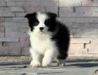 自家大狗生了一窝边境牧羊犬可以上门看狗父母