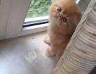 福州哪里卖纯种加菲猫多少钱 福州加菲猫 无病 无癣 协议质保