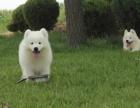 纯种萨摩耶 质量保证 健康保证 包养活 萨摩幼犬