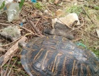 巴西红耳龟转让