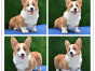 实拍纯种柯基犬 两色三色柯基幼犬签质保包健康终身