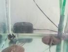 珍珠魟鱼一对儿,花色漂亮
