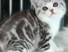 大连美国短毛猫五粉加白 虎斑美短 心爱极了 求带走